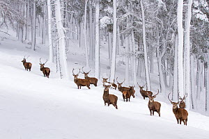 RF - Red deer (Cervus elaphus) herd in forest in winter. Scotland, UK. December (This image may be licensed either as rights managed or royalty free.)  -  Mark Hamblin