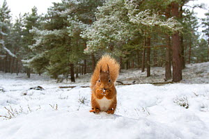 RF - Red Squirrel (Sciurus vulgaris) in woodland habitat in snow. Scotland, UK, December. (This image may be licensed either as rights managed or royalty free.) - Mark Hamblin