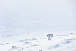 RF - Mountain Hare (Lepus timidus) in white winter coat runnng across snow, Scotland. UK, January. (This image may be licensed either as rights managed or royalty free.)  -  Mark Hamblin
