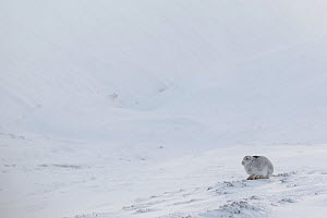 RF - Mountain Hare (Lepus timidus) resting on snow in wintry habitat, Scotland. UK, January. (This image may be licensed either as rights managed or royalty free.) - Mark Hamblin