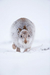 RF - Mountain Hare (Lepus timidus) hopping towards camera, in snow. Scotland, UK. January. (This image may be licensed either as rights managed or royalty free.)  -  Mark Hamblin