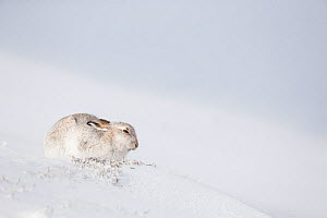 RF - Mountain Hare (Lepus timidus) sitting on snow. Scotland, UK. January. (This image may be licensed either as rights managed or royalty free.) - Mark Hamblin