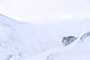 RF - Mountain Hare (Lepus timidus) sat in snow hole in upland habitat. Scotland, UK. January. (This image may be licensed either as rights managed or royalty free.) - Mark Hamblin