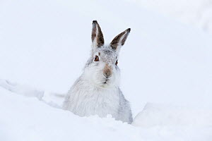 RF - Mountain Hare (Lepus timidus) adult resting in snow hole in winter habitat, Scotland, UK, Febraury. (This image may be licensed either as rights managed or royalty free.) - Mark Hamblin