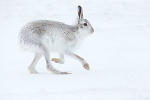 RF - Mountain Hare (Lepus timidus) adult running across snow, Scotland. February. (This image may be licensed either as rights managed or royalty free.)  -  Mark Hamblin