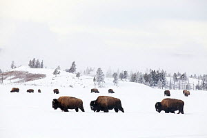 RF -Three Bison (Bison bison) walking through snow with herd feeding in background. Yellowstone National Park, Wyoming, USA. January. (This image may be licensed either as rights managed or royalty fr... - Mark Hamblin