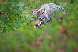 RF - Wolf (Canis lupus) walking through woodland in autumn. Controlled conditions, taken in Norway. September (This image may be licensed either as rights managed or royalty free.)  -  Mark Hamblin