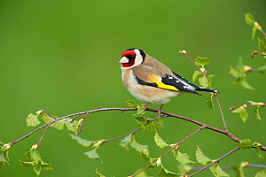 RF - Goldfinch (Carduelis carduelis) perched on silver birch branch. Scotland, UK. May. (This image may be licensed either as rights managed or royalty free.)  -  Mark Hamblin