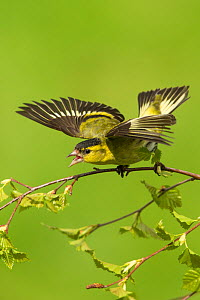 RF - Siskin (Carduelis spinus) male displaying aggressively Scotland, UK. May. (This image may be licensed either as rights managed or royalty free.) - Mark Hamblin