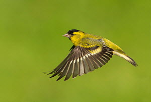RF - Siskin (Carduelis spinus) male in flight Scotland, UK. May. (This image may be licensed either as rights managed or royalty free.)  -  Mark Hamblin