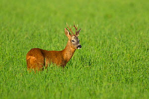 RF - Roe deer buck (Capreolus capreolus) in field, Scotland, UK, August. (This image may be licensed either as rights managed or royalty free.)  -  Mark Hamblin