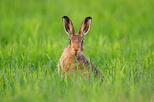 RF - Brown hare (Lepus europaeus) adult in arable field, Scotland (This image may be licensed either as rights managed or royalty free.) - Mark Hamblin