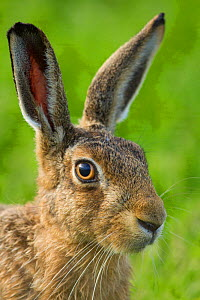 RF - Brown hare (Lepus europaeus) close-up portrait. Scotland, UK. (This image may be licensed either as rights managed or royalty free.) - Mark Hamblin