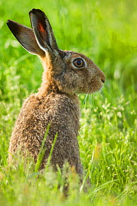 RF - Brown hare (Lepus europaeus) adult in arable field, Scotland, UK, August. (This image may be licensed either as rights managed or royalty free.) - Mark Hamblin