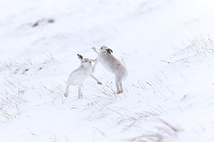 RF - Mountain Hare (Lepus timidus) two animals boxing on snowy hillside Scotland, UK. February. (This image may be licensed either as rights managed or royalty free.)  -  Mark Hamblin