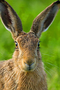 Brown hare (Lepus europaeus) close-up portrait of adult  , Scotland, UK. August. - Mark Hamblin