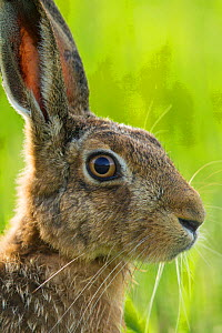 Brown hare (Lepus europaeus) adult in arable field, Scotland, August. - Mark Hamblin