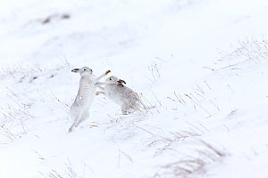 Mountain hare (Lepus timidus) two animals boxing on snowy hillside , Scotland, UK. February.  -  Mark Hamblin