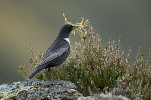 Ring ouzel (Turdus torquatus) male carrying nest material perched on rock , Scotland, UK. May.  -  Mark Hamblin