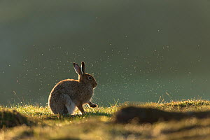Mountain hare (Lepus timidus) adult in summer coat backlit, with morning dew spraying has it grooms., Scotland, UK. May. - Mark Hamblin