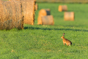 Brown hare (Lepus europaeus) in field of grass with bales of straw in background , Scotland, UK. July.  -  Mark Hamblin