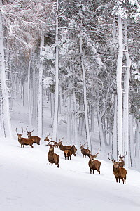Red Deer (Cervus elaphus) herd in forest in snow , Cairngorms National Park, Scotland, UK. December.  -  Mark Hamblin
