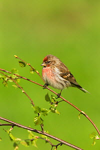 Redpoll (Carduelis flammea) male perched on birch in spring, Scotland, UK, May.  -  Mark Hamblin