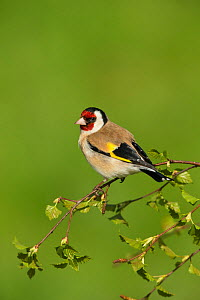 Goldfinch (Carduelis carduelis) perched on birch sprig in spring, Scotland, UK, May.  -  Mark Hamblin