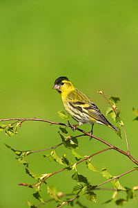 Siskin (Carduelis spinus) male perched on birch spring, Scotland, UK, May.  -  Mark Hamblin