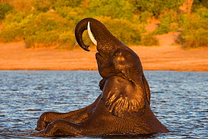 RF - African elephant (Loxodonta africana) playing in river, Chobe River, Botswana, June. (This image may be licensed either as rights managed or royalty free.)  -  Ann  & Steve Toon