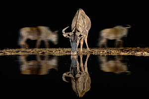 RF - Common wildebeest (Connochaetes taurinus) drinking at night, Zimanga private game reserve, KwaZulu-Natal, South Africa, September. (This image may be licensed either as rights managed or royalty...  -  Ann  & Steve Toon