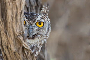 RF - Spotted eagle owl (Bubo africanus) looking out from tree trunk,  Kgalagadi Transfrontier Park, Northern Cape, South Africa, February. (This image may be licensed either as rights managed or royal... - Ann  & Steve Toon