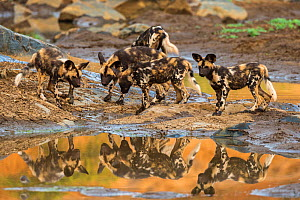 RF - African wild dog (Lycaon pictus) pups from pack exploring, Zimanga private game reserve, KwaZulu-Natal, South Africa, September. (This image may be licensed either as rights managed or royalty fr... - Ann  & Steve Toon