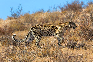 RF - Leopard female (Panthera pardus), Kgalagadi transfrontier park, South Africa, June. (This image may be licensed either as rights managed or royalty free.)  -  Ann  & Steve Toon