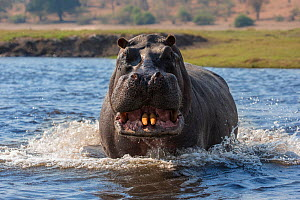 RF - Hippopotamus (Hippopotamus amphibius) showing territorial aggression, charging in Chobe river, Botswana, September. (This image may be licensed either as rights managed or royalty free.)  -  Ann  & Steve Toon
