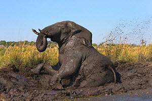 RF - African elephant (Loxodonta africana) mudbathing, Chobe River, Botswana, June. (This image may be licensed either as rights managed or royalty free.)  -  Ann  & Steve Toon