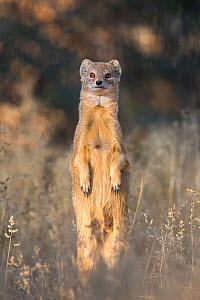 Yellow mongoose (Cynictis penicillata), Kgalagadi transfrontier park, South Africa, June - Ann  & Steve Toon