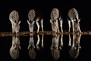 Plains zebra (Equus quagga) drinking at waterhole at night, Zimanga private game reserve, KwaZulu-Natal, South Africa, September - Ann  & Steve Toon