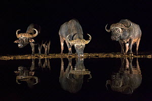 Cape buffalo (Syncerus caffer) drinking at waterhole at night, Zimanga private game reserve, KwaZulu-Natal, South Africa, September - Ann  & Steve Toon