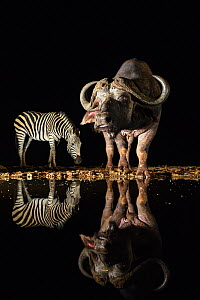 Cape buffalo (Syncerus caffer) at waterhole at night with plains zebra (Equus quagga), Zimanga private game reserve, KwaZulu-Natal, South Africa, September - Ann  & Steve Toon