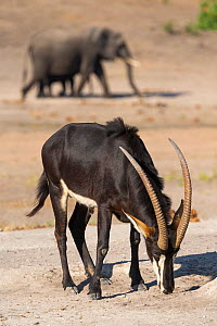 Sable (Hippotragus niger) licking salt, Chobe National Park, Botswana, June - Ann  & Steve Toon