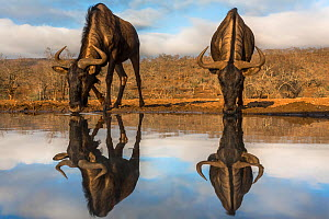 Common wildebeest (Connochaetes taurinus) with reflection at waterhole, Zimanga private game reserve, KwaZulu-Natal, South Africa, September - Ann  & Steve Toon