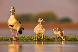 Egyptian goose (Alopochen aegyptiaca) with goslings, Zimanga private game reserve, KwaZulu-Natal, South Africa, September - Ann  & Steve Toon