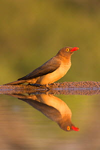 Redbilled oxpecker (Buphagus erythrorhynchus), Zimanga private game reserve, KwaZulu-Natal, South Africa, June  -  Ann  & Steve Toon