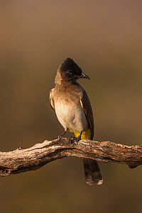 Dark-capped bulbul (Pycnonotus tricolor). Zimanga private game reserve, KwaZulu-Natal, South Africa. June.  -  Ann  & Steve Toon
