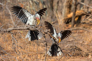 Southern yellowbilled hornbills (Tockus leucomelas) courtship display. Kruger National Park, South Africa. September.  -  Ann  & Steve Toon