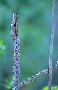 Common potoo (Nyctibius griseus) camouflaged on branch, Brazil. - Roland  Seitre