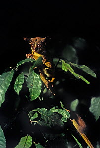 Rondo dwarf galago (Galagoides rondoensis) from Rondo in south-east Tanzania  -  Barrie Britton
