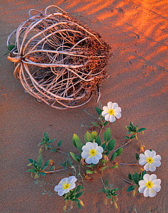 Birdcage evening primrose (Oenothera deltoides) in flower next to skeleton of remnant dried plant. Mojave Trails National Monument, California, USA. - Jack Dykinga
