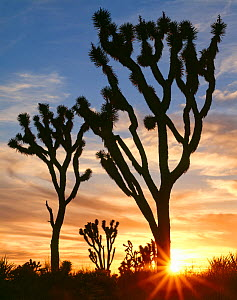 Joshua trees (Yucca brevifolia) silhouetted with the sun setting on the horizon. Mojave Trails National Monument. Preserve, California, USA.  -  Jack Dykinga